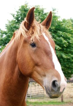 Adopt a Suffolk Punch from the Suffolk Punch Trust