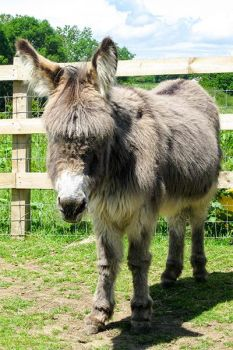 Adopt Brandy from the Isle of Wight Donkey Sanctuary