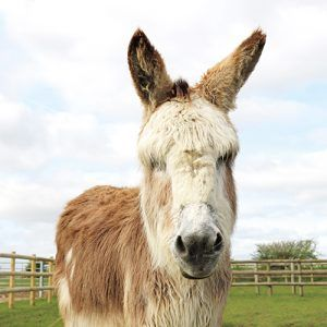 Adopt Domino from Bransby Horses