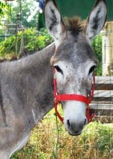 Adopt a donkey such as Amber from the Safe Haven for Donkeys