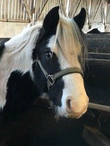 Sponsor a Pony Gift Scheme with the Lluest Horse and Pony Trust