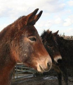 Adopt a mule from the Sussex Horse Rescue Trust
