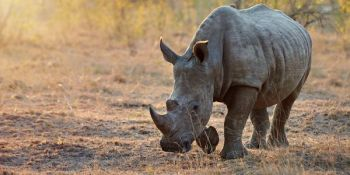 China lifted the ban on rhino and tiger products