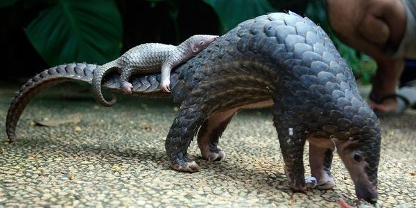 Sign Care2.com's petition to help pangolins here