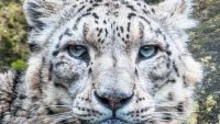 Snow Leopards Need Help