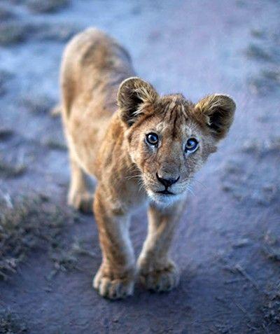 Help lions