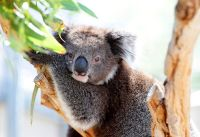 Help create habitat for koalas - find out how here