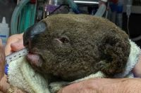 Please find out more about this urgent appeal for koalas