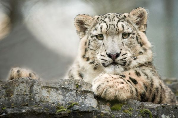 Will you donate TODAY and double your impact to help snow leopards?