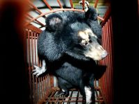 Stop China using bear bile and goat horn