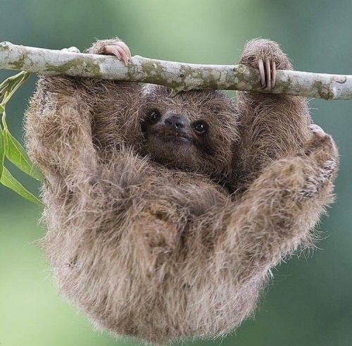 Will you join the #HanginthereChallenge with the Sloth Conservation Foundation?