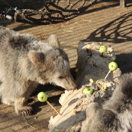 Treat the bears to an enrichment log full of yummy fruit!