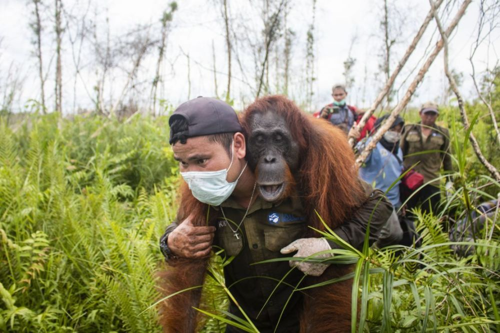Help International Animal Rescue Pay for a Day to help orangutans