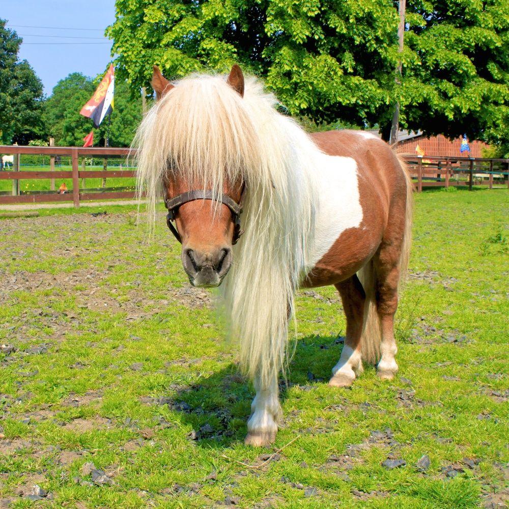 This is miniature Shetland pony Merlin