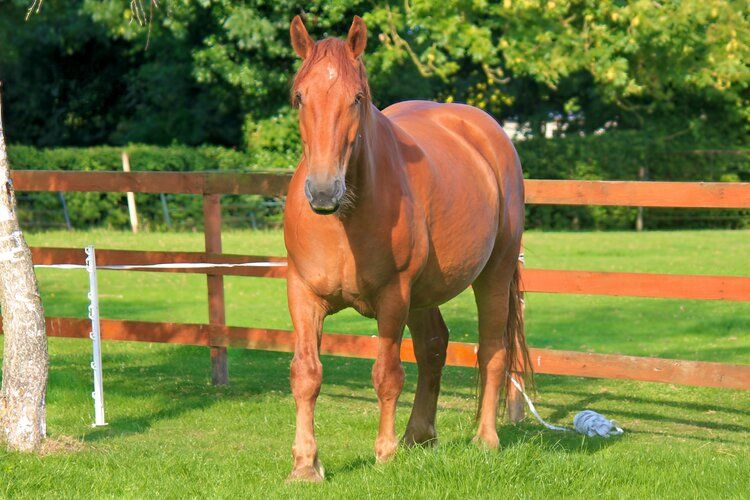 This is Rosie, a rare Suffolk Punch - isn't she beautiful?!