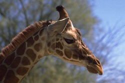 Click here for giraffe charities