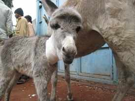Donkey Sanctuary children rescue foal in India