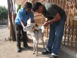Donkey Sanctuary foal having treatment in India
