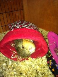 guinea pig pic 2
