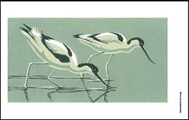 Avocets in template