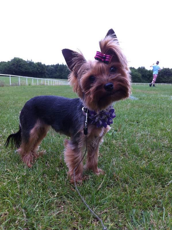 My gorgeous yorkshie terrier Poppy