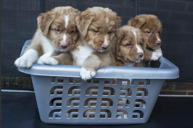 Kivas pups in a basket