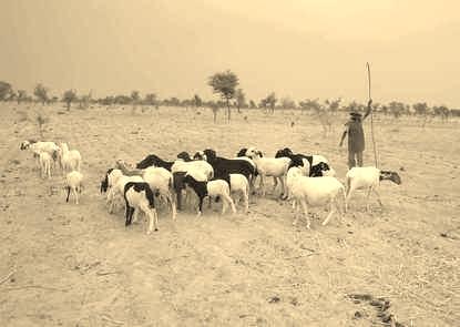Herding in Gondo
