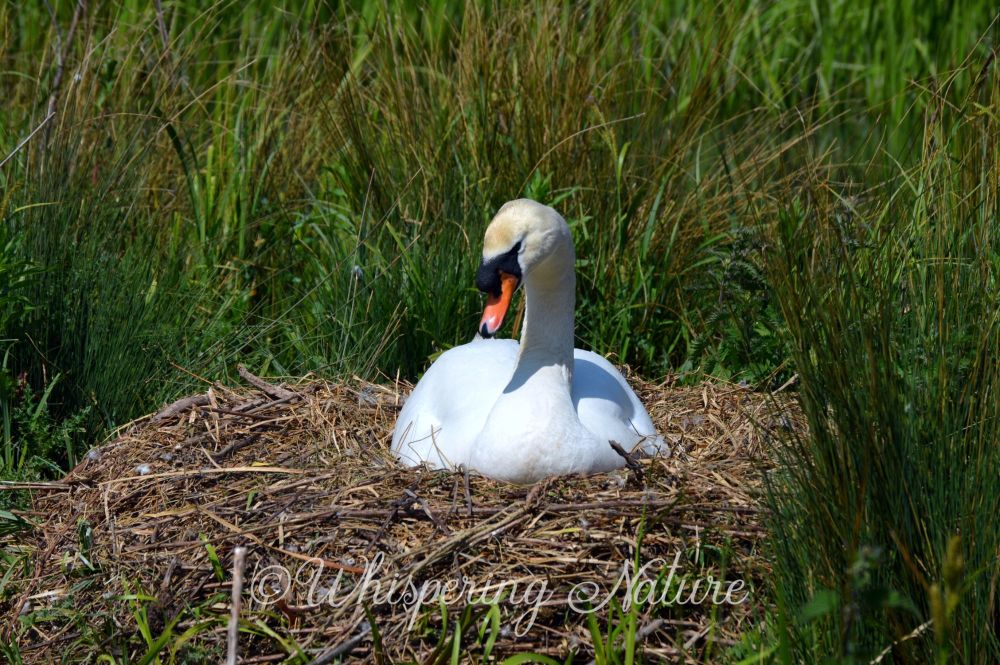 Nesting Swan Blank Greetings Card, Nature Photography, Wildlife Card, Any O