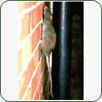 rat up the wall