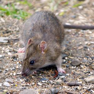 just a rat