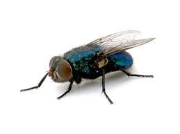 flies pestcontrol powerpoint