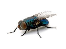 flies pestcontrol powerpoint