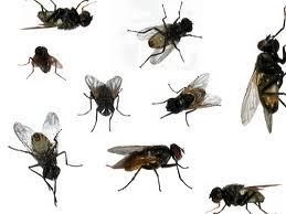 lots of flies