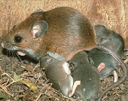 mouse with young
