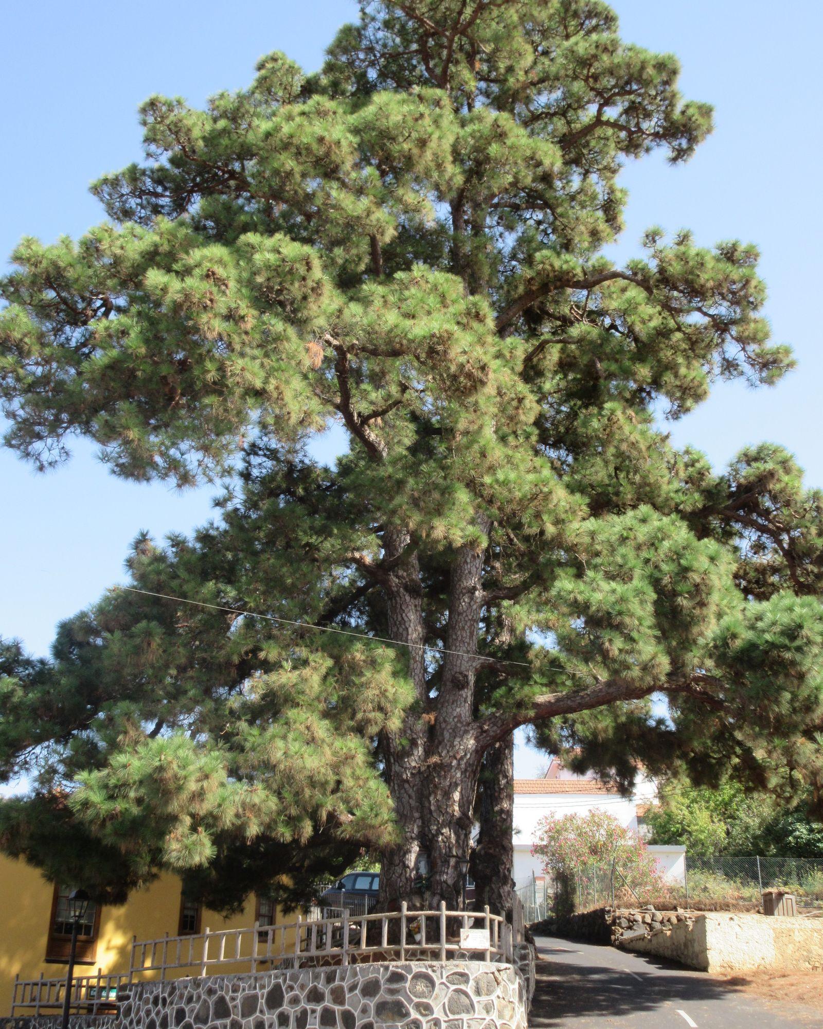 el pino pine tree puntagorda la palma