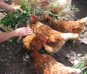Chickens on finca, Franceses, Garafia, La Palma, Canary Islands