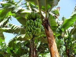 Banana production la palma