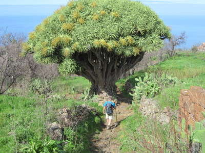 Garafia, Dragon tree
