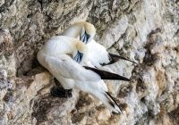 Gannets  (6916)
