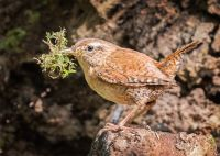Wren with Nesting Material (102660)