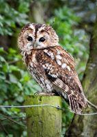 Tawny Owl  (7605)