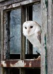 Barn Owl  (7625)