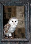 Barn Owl (Tyto Alba) (7651)