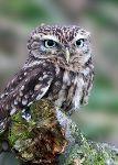 Little Owl (Athene noctua) (7705)