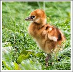 Great Crested Crane chick (8012)