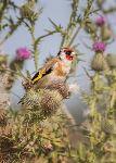 Goldfinch (203413)