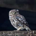 Little Owl (Athene noctua) (304000)