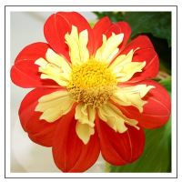 Red and yellow Dahlia (1373)