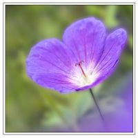 Meadow Cranesbill (5878)