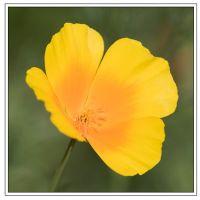 Californian Poppy (7171)